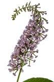 Flowers of Buddleja, lat. Buddleja davidii, isolated on white ba Royalty Free Stock Images