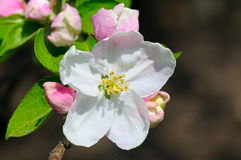 Flowers and buds of apple trees on a dark background. Royalty Free Stock Photography