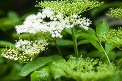 Flowers and buds of the black elder (Sambucus) Royalty Free Stock Photo