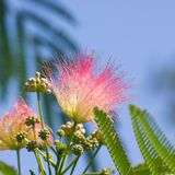Flowers and buds on blooming Persian silk tree, Albizia julibrissin, with bokeh background, close-up, selective focus Stock Photos