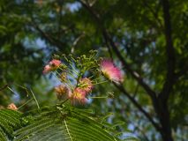 Flowers and buds on blooming Persian silk tree, Albizia julibrissin, with bokeh background, close-up, selective focus Royalty Free Stock Photos