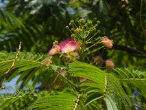 Flowers and buds on blooming Persian silk tree, Albizia julibrissin, with bokeh background, close-up, selective focus Royalty Free Stock Photo