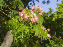 Flowers and buds on blooming Persian silk tree, Albizia julibrissin, with bokeh background, close-up, selective focus Stock Images