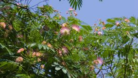 Flowers and buds on blooming Persian silk tree, Albizia julibrissin, close-up, selective focus, shallow DOF stock image