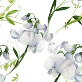 Flowers, buds, branches of sweet pea. Decorative composition. Watercolor. Floral motifs. Seamless patte Royalty Free Stock Photos