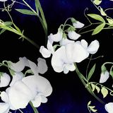 Flowers, buds, branches of sweet pea. Decorative composition on a watercolor background. Watercolor. Floral motifs. Seamless patte Royalty Free Stock Image