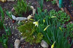 Flowers and buds of daffodils next to the leaves of tulips on the flowerbed. Royalty Free Stock Photos