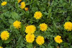 Flowers and buds of dandelions in spring Royalty Free Stock Photos