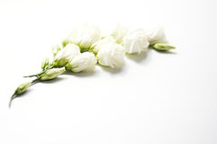 Flowers and buds of eustoma Stock Photos