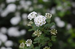 Flowering lantana bush. White flowers. Macro stock photos