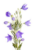 Flowers, buds and leaves of balloon flower on white Stock Photos