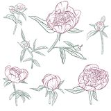 Vector floral set of peonies Stock Image