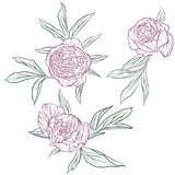 Vector floral set of peonies Royalty Free Stock Photography