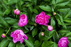 Flowers and buds of pink peony in raindrops royalty free stock image