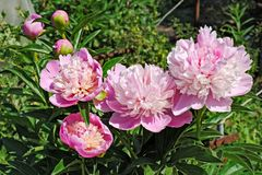 Flowers and buds of the rosy peony in garden Stock Photo