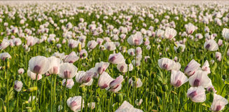 Flowers, buds and seedheads of white and purple colored poppies Royalty Free Stock Photography