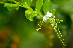 Flowers and buds in a single branch stock image