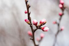 Flowers in the buds on a tree branch. Macro Stock Image