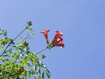 Flowers and buds of Trumpet creeper or Campsis radicans close-up against sky, selective focus, shallow DOF Royalty Free Stock Photo