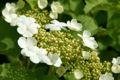 Flowers and buds of viburnum Royalty Free Stock Photo