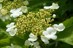 Flowers and buds of viburnum Royalty Free Stock Image