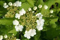 Flowers and buds of viburnum Stock Images