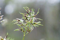 Flowers of bulbous bluegrass, Poa bulbosa Stock Images