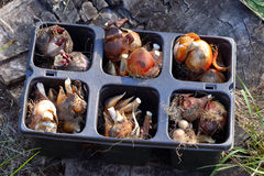 Flowers bulbs ready to plant in the garden Stock Photography