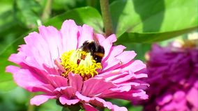 Flowers and bumblebee stock video footage