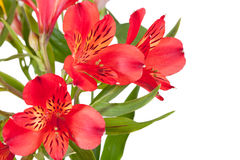 Flowers bunch from several red alstroemeria. Isolated on white background Stock Image