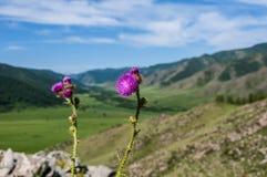 Flowers burdock mountain background Royalty Free Stock Photo