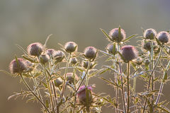 flowers of burdock plants with large thorns at sunset stock photos