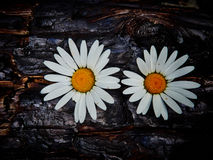 Flowers and burnt wood Royalty Free Stock Images