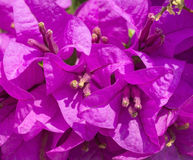 Flowers of bush bougainvillea Stock Images