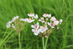 Flowers of butomus umbellatus Stock Photos