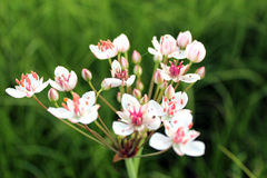 Flowers of butomus umbellatus Stock Photography