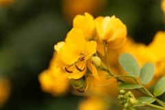 Buttercup bush Senna corymbosa Royalty Free Stock Image