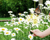 Flowers and Butterfly. Hand holding cluster of lilies among daisy flowers and monarch butterfly royalty free stock images