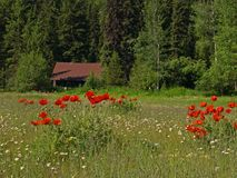 Flowers and Cabin. This picture of the wilderness cabin with the meadow of wildflowers was taken in western MT Stock Image
