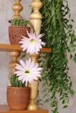 Flowers of cactus. Echinopsis hybr and Hoya Carnosa on back plane Royalty Free Stock Photos