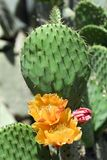 Flowers of cactus. Macro of orange flowers of a cactus opuntia ficus indica Royalty Free Stock Images
