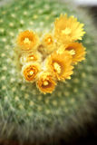 Flowers of a cactus Stock Image