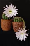 Flowers of cactus Echinopsis hybr Royalty Free Stock Photos