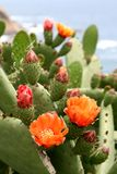 Flowers of cactus in Spain Stock Image