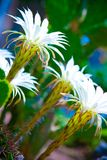 Flowers of cactuses. Beautiful white flowers of cactuses Stock Photo