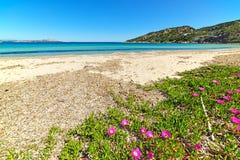 Flowers in Cala Battistoni beach Royalty Free Stock Image