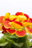 Flowers Calceolaria in red and yellow colors with copy space stock image