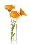 The flowers of a calendula Stock Photography