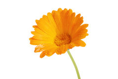 The flowers of a calendula Royalty Free Stock Photos