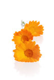 The flowers of a calendula Royalty Free Stock Images